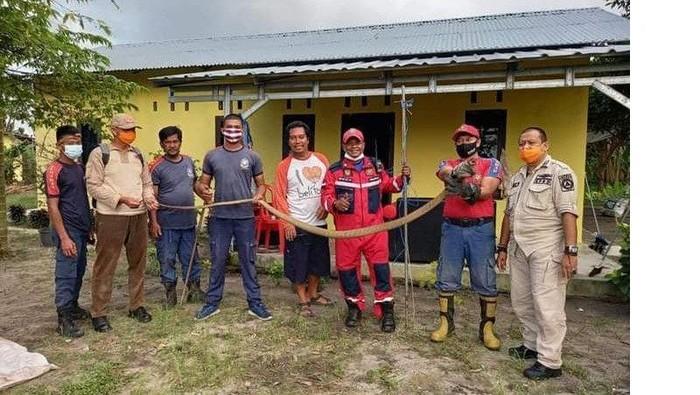 King Kobra 3 Meter Sembunyi di Bawah Kasur Warga Belitung